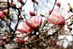 Magnolia Blossom Tree. blossoming branch of a  Pink magnolia Royalty Free Stock Photos