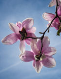 Magnolia Blossom Tree Royalty Free Stock Images