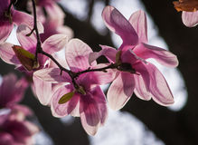 Magnolia Blossom Tree. Magnolia tree blossoms in springtime garden Stock Photography