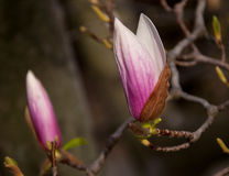 Magnolia Blossom Tree Royalty Free Stock Photo