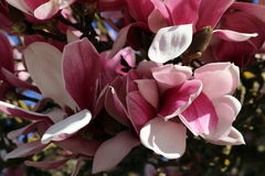 Magnolia Blossom. On magnolia tree branch in  shadow and sunlight Stock Photos
