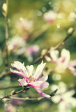 Magnolia blossom. Vintage flowers background. Stock Photos
