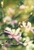 Magnolia blossom. Vintage flowers background. Royalty Free Stock Photo