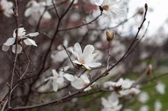 Magnolia in blossom. White magnolia flowers and buds. Blurred background. Close-up, soft selective focus stock image