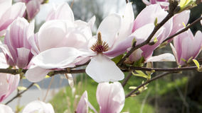 Magnolia blossom Stock Images