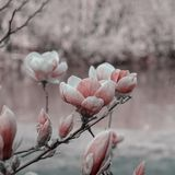 Magnolia blossomed with infrared effect. Luxuriant flowering of magnolias in the park on the blurred background . April spring days Royalty Free Stock Image