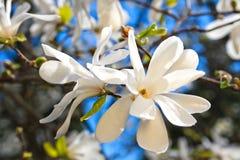 Magnolia Blossoms Stock Photos
