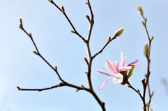 Magnolia blossoms Stock Photography