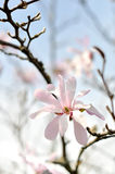 Magnolia blossoms Royalty Free Stock Photography