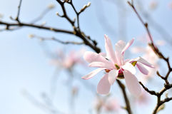 Magnolia blossoms Royalty Free Stock Photos
