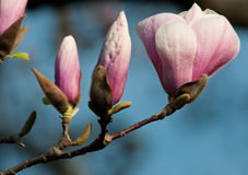 Magnolia blossoms Royalty Free Stock Images