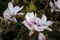 Magnolia blossoms is already beginning to wither stock photography