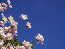 Magnolia blossoms and blue sky. Magnolia blossoms in sunshine and  blue sky with room for text Royalty Free Stock Photo