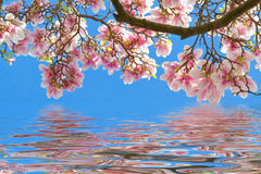 Magnolia blossoms on clear water Royalty Free Stock Image