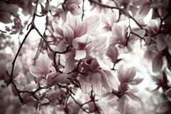 Magnolia Blossoms Royalty Free Stock Photo