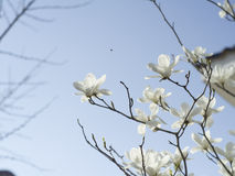 Magnolia blossoms. Flowering in Spring Stock Photo