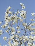 Magnolia blossoms. Flowering in Spring Stock Image