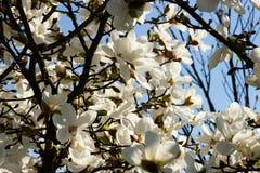 Magnolia blossoms Royalty Free Stock Photo