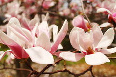 Magnolia Blossoms. In full bloom on a Maryland tulip tree Stock Photography