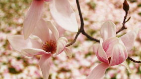 Magnolia Blossoms. In full bloom on a Maryland tulip tree Stock Images