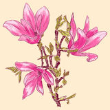 Magnolia blossoms. Hand drawing spring magnolia blossoms Stock Images