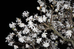 Magnolia Blossoms at Night Stock Photography