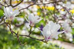 Magnolia blossoms in spring Stock Image
