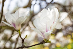 Magnolia blossoms in spring Royalty Free Stock Images
