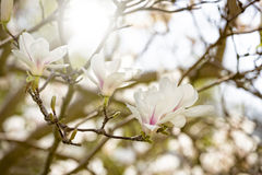 Magnolia blossoms in spring Royalty Free Stock Photography