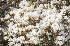 Magnolia blossoms in spring Stock Photo
