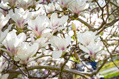 Magnolia blossoms in spring Stock Images
