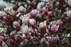 Magnolia blossoms in springtime Royalty Free Stock Photo