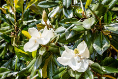 Magnolia Blossoms on Summer Trees Royalty Free Stock Photos