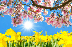 Magnolia blossoms and yellow daffodils Royalty Free Stock Images