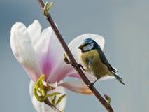 magnolia bluetit Стоковое фото RF