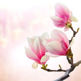 Magnolia branch with flower Stock Photo