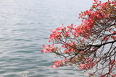 Magnolia branch on lake background. Stock Photo