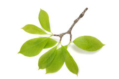 Magnolia branch with leaves Royalty Free Stock Photo