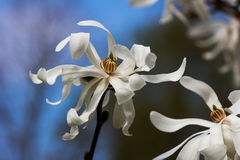 Magnolia. Branch of magnolia sieboldii tree in the garden Stock Photo