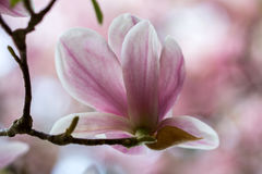 Magnolia. Branch of magnolia sieboldii tree in the garden Royalty Free Stock Images