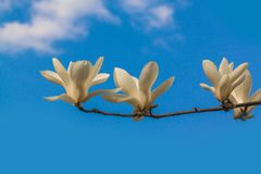 Magnolia  branch with white double flowers royalty free stock photos