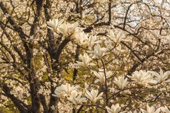 Magnolia  branch with white double flowers stock photo