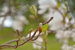 Magnolia branch, young leaves and kidneys. Magnolias bloom on the blurred background of other flowers. Magnolia blooming in the spring. Beautiful spring flowers Royalty Free Stock Images