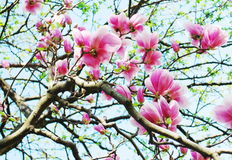 Magnolia branches Stock Images
