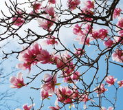 Magnolia branches Stock Image