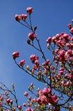 Magnolia branches Stock Photo