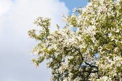 Magnolia branco Imagem de Stock