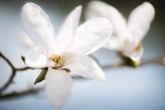 Magnolia branco Imagens de Stock