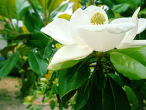 Magnolia branco Foto de Stock Royalty Free