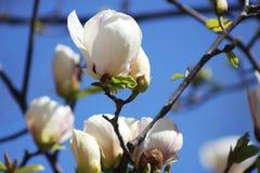Magnolia branco fotografia de stock royalty free